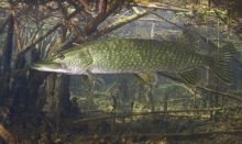 tuka - Esox Lucius